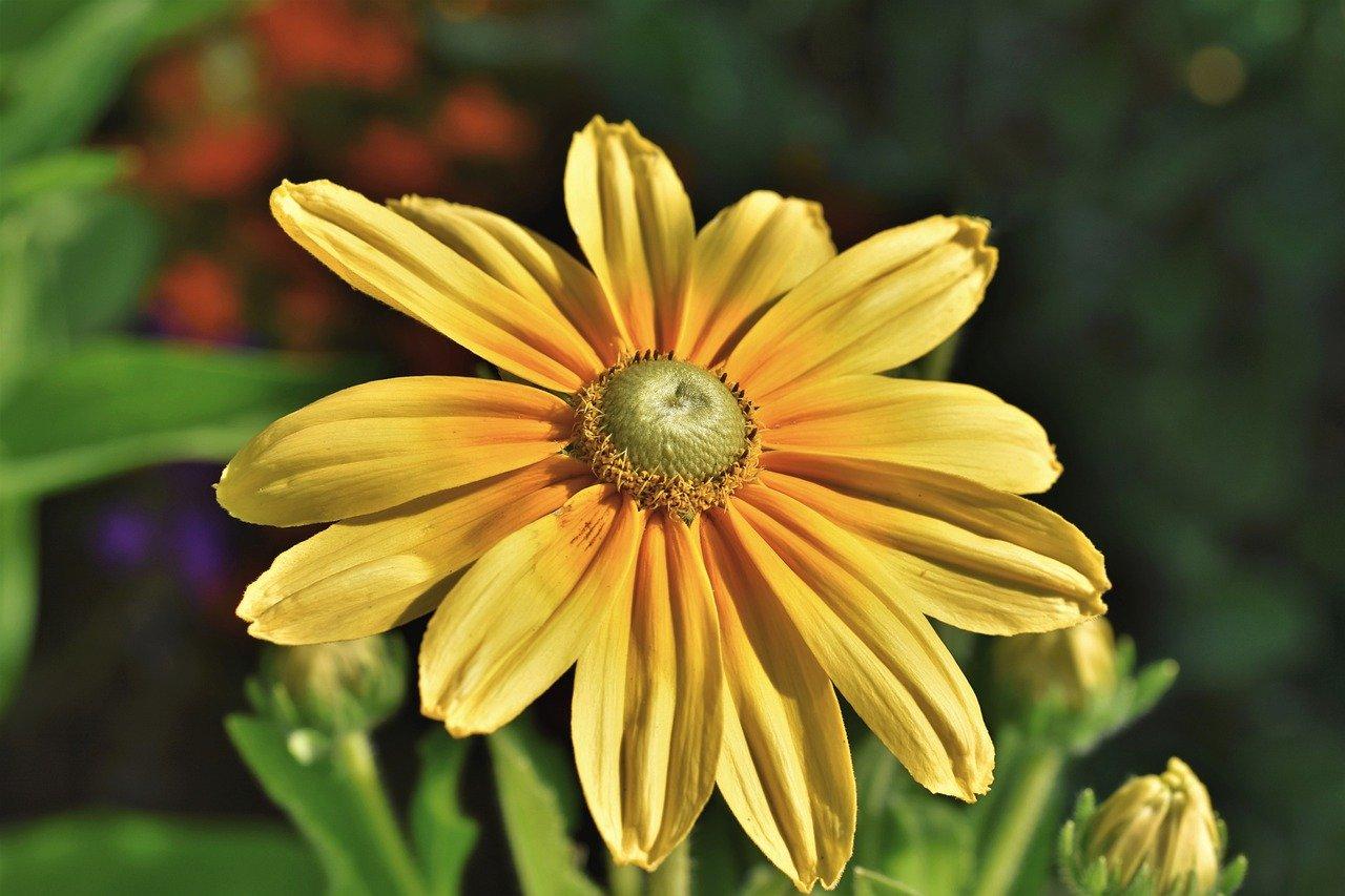 flower, cutleaf coneflower, blossom